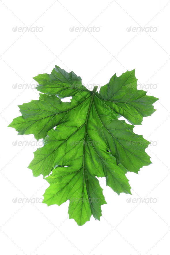 Bear's Breeches Leaf - Stock Photo - Images