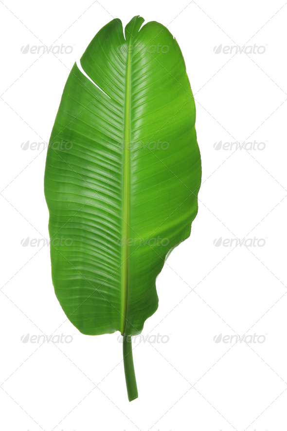 Palm Leaf - Stock Photo - Images