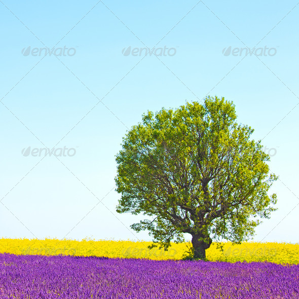 Lavender and yellow flowers blooming field, lonely tree. Provenc - Stock Photo - Images