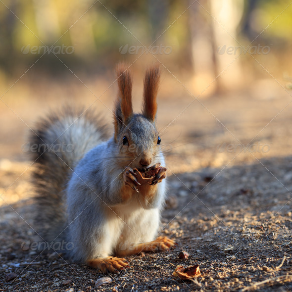 Red squirrel - Stock Photo - Images