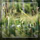 Grass Stalks On The Wind - VideoHive Item for Sale