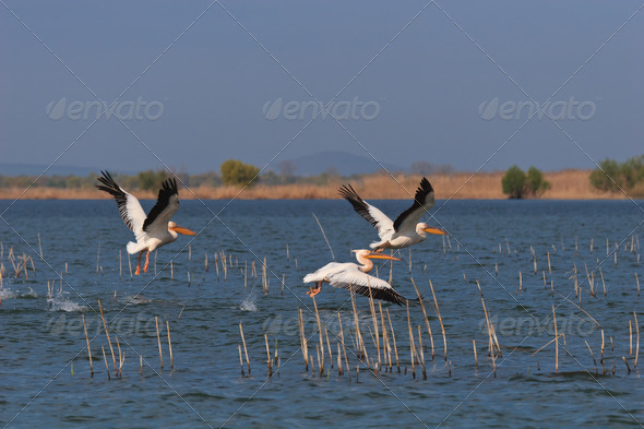 pelicans in flight - Stock Photo - Images