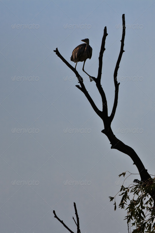 grey heron - Stock Photo - Images