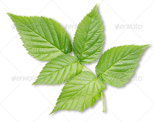 Raspberry leaves isolated - Stock Photo - Images