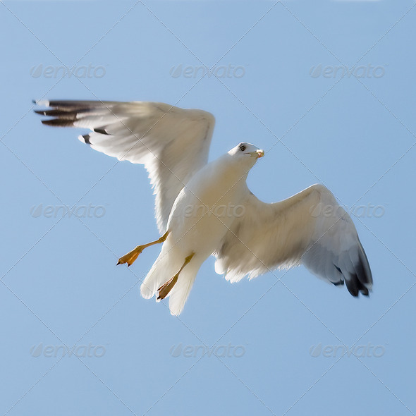 Flying seagull on the blue sky background - Stock Photo - Images