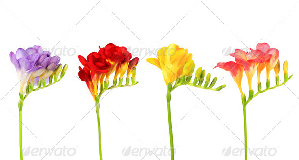 Sprigs of freesia - Stock Photo - Images