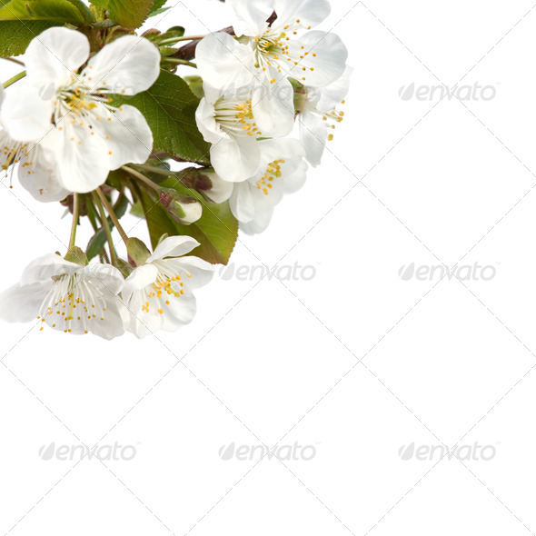 Flowering branch of cherry. - Stock Photo - Images