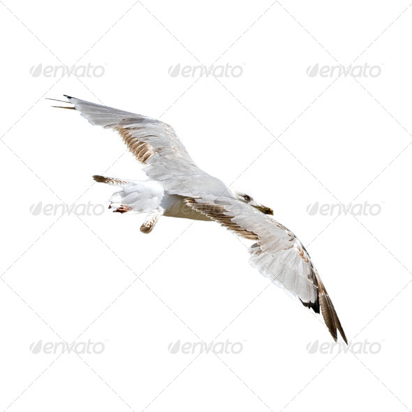 Seagull flying - Stock Photo - Images