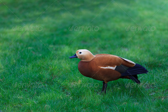 Ruddy Shelduck - Stock Photo - Images