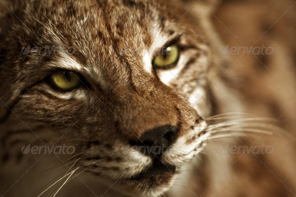 Lynx Taxidermy - Stock Photo - Images