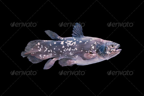 Living fossil fish, Coelacanth. - Stock Photo - Images