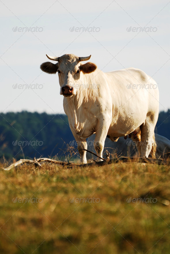 White Cow - Stock Photo - Images