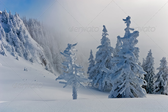 pines with snow - Stock Photo - Images