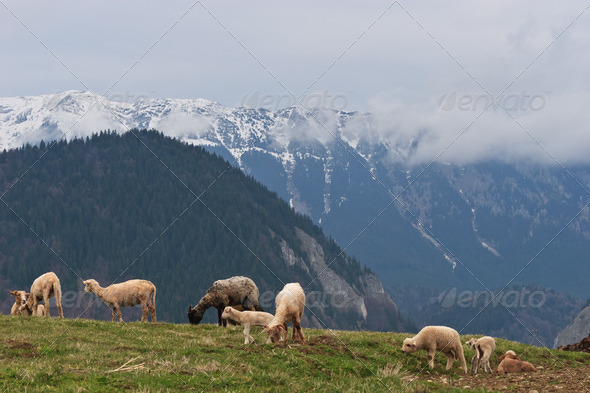 sheep to pasture - Stock Photo - Images