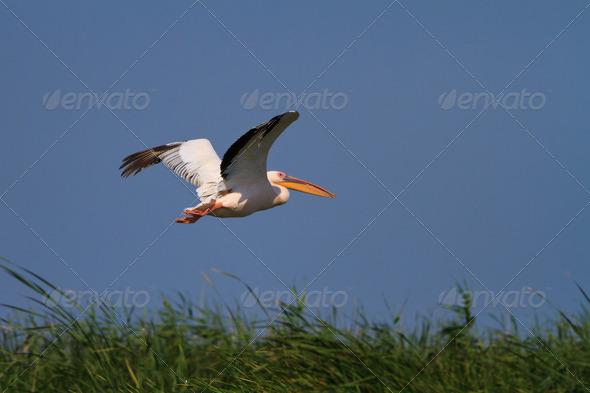white pelican (pelecanus onocrotalus) in flight - Stock Photo - Images