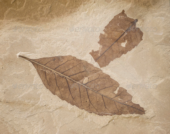 two fossil leaves - Stock Photo - Images