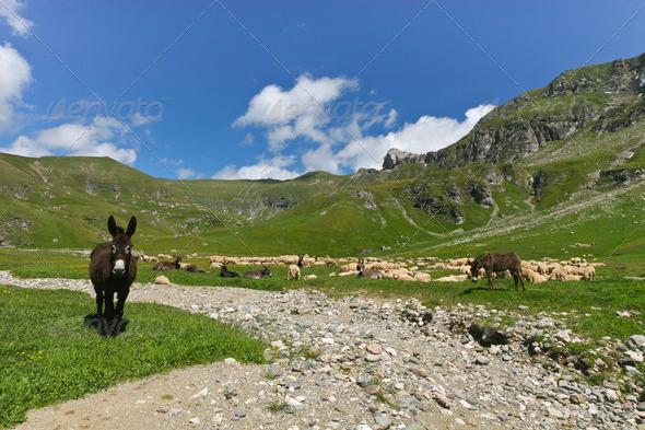 donkeys and sheep - Stock Photo - Images