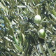 Olives in Tree Close-up - VideoHive Item for Sale