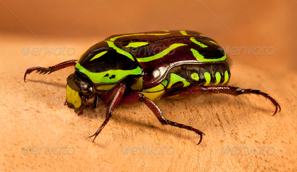 Green fiddler beetle - Stock Photo - Images