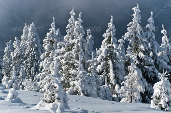pine forest in winter - Stock Photo - Images