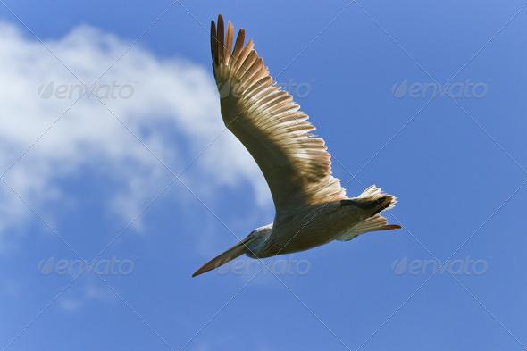 Dalmatian Pelican (Pelecanus crispus)  - Stock Photo - Images