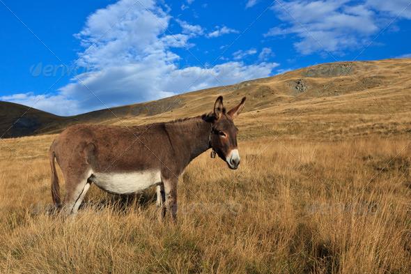 donkey grazing - Stock Photo - Images