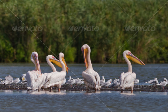 white pelicans (pelecanus onocrotalus) - Stock Photo - Images