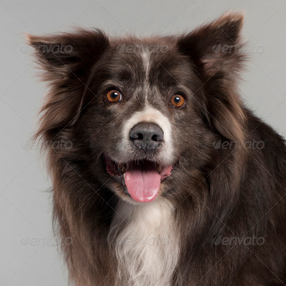 Border Collie - Stock Photo - Images