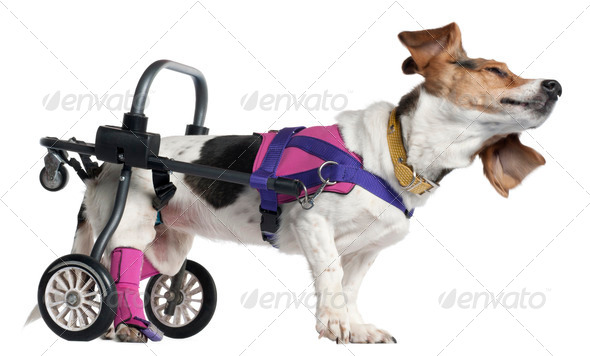 Paralyzed handicapped Mixed-breed dog, 8 years old, in front of white background - Stock Photo - Images