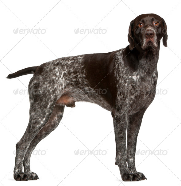 German Shorthaired Pointer, 3 years old, standing in front of white background - Stock Photo - Images