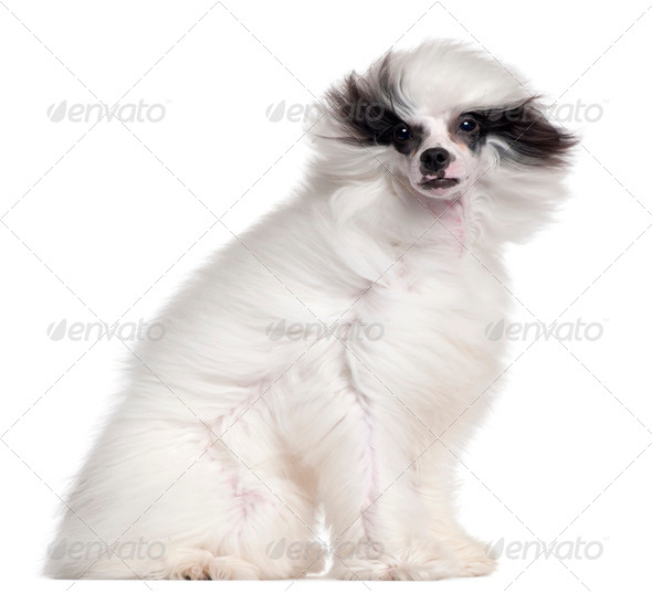 Chinese Crested Dog, 7 months old, with hair in the wind in front of white background - Stock Photo - Images
