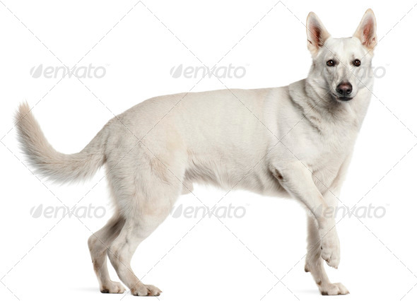 White Swiss Shepherd Dog, 4 years old, standing in front of white background - Stock Photo - Images