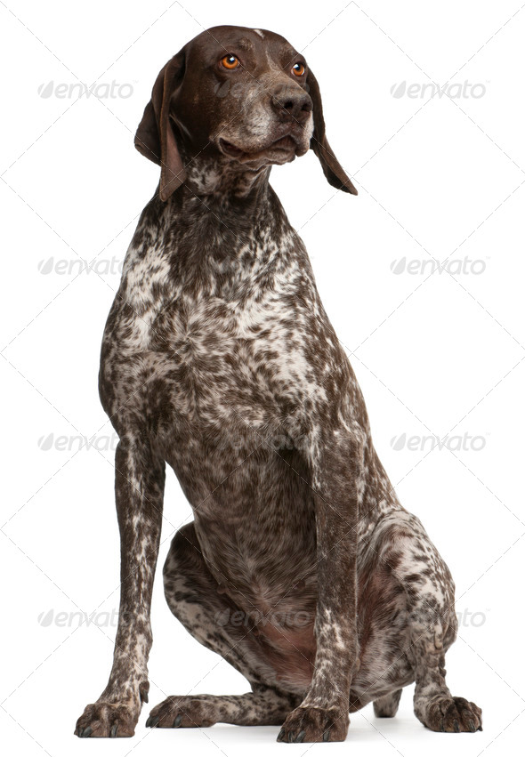 German Shorthaired Pointer, sitting in front of white background - Stock Photo - Images