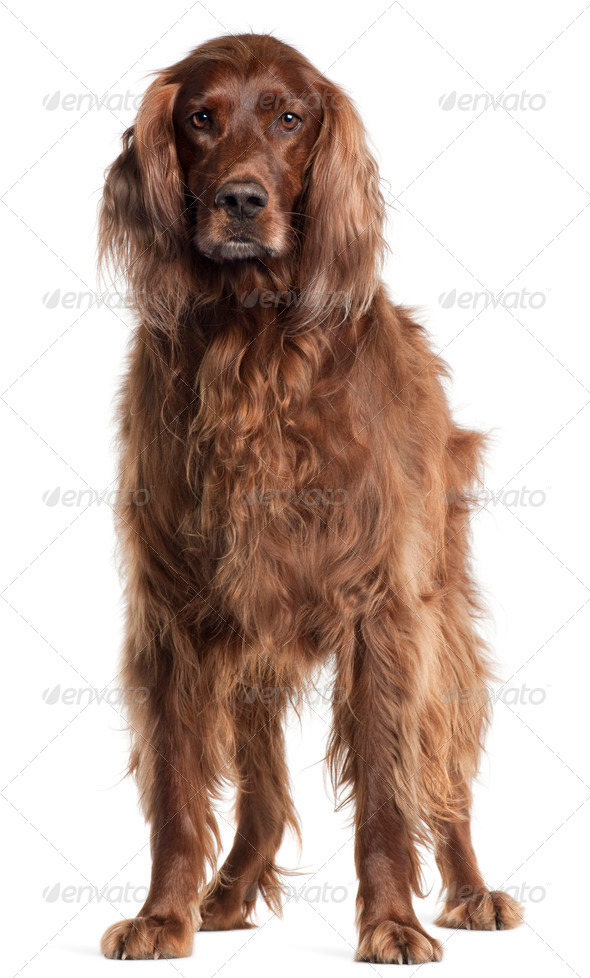 Irish Setter, 5 years old, standing in front of white background - Stock Photo - Images