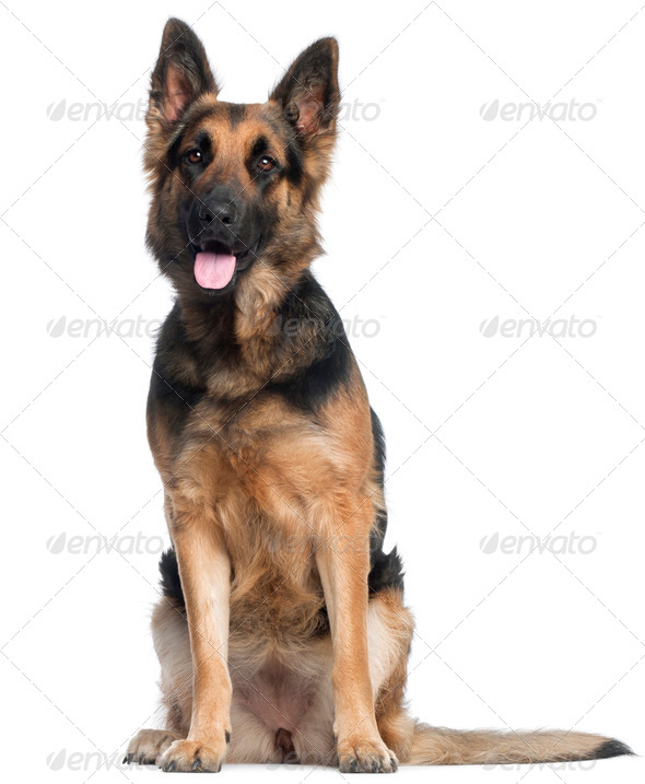 German Shepherd Dog, 2 years old, sitting in front of white background - Stock Photo - Images