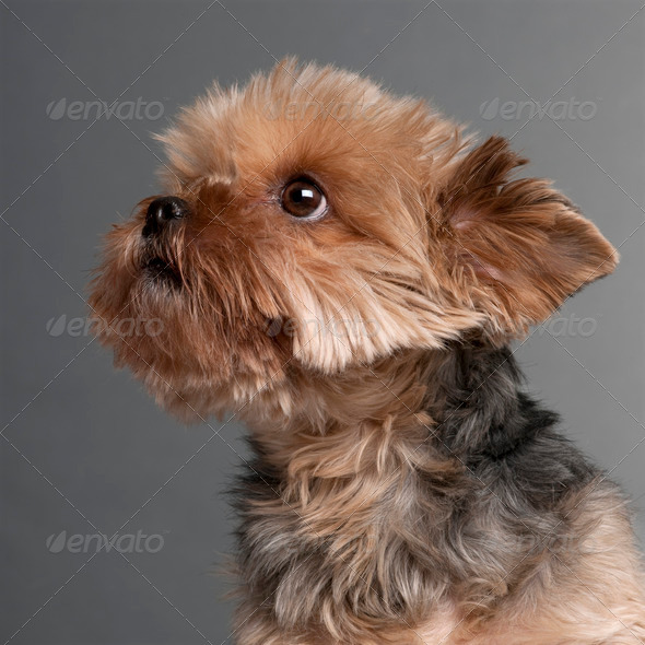 Yorkshire Terrier (7 years old) - Stock Photo - Images