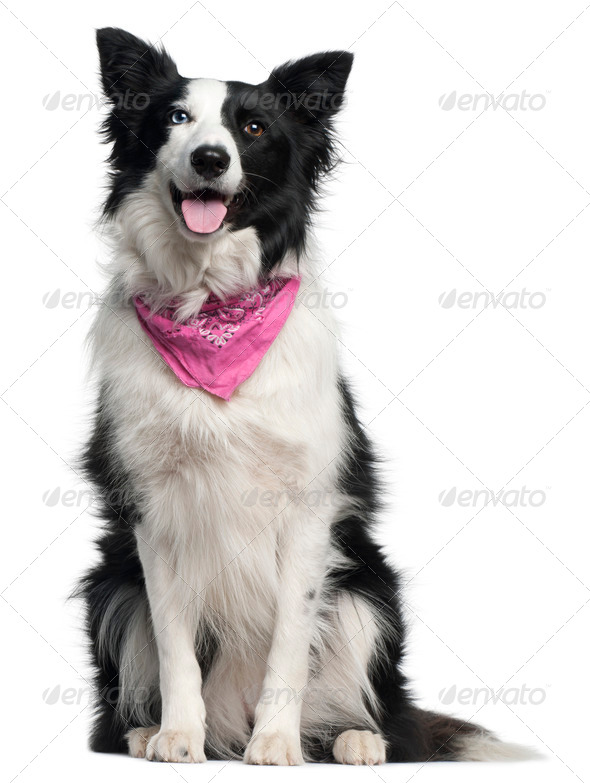 Border Collie wearing pink handkerchief, 2 years old, sitting in front of white background - Stock Photo - Images