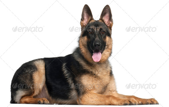 German Shepherd Dog, 8 months old, lying in front of white background - Stock Photo - Images