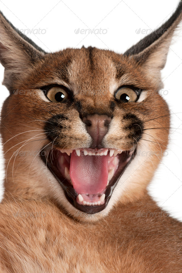 Close-up of Caracal hissing, Caracal caracal, 6 months old, in front of white background - Stock Photo - Images
