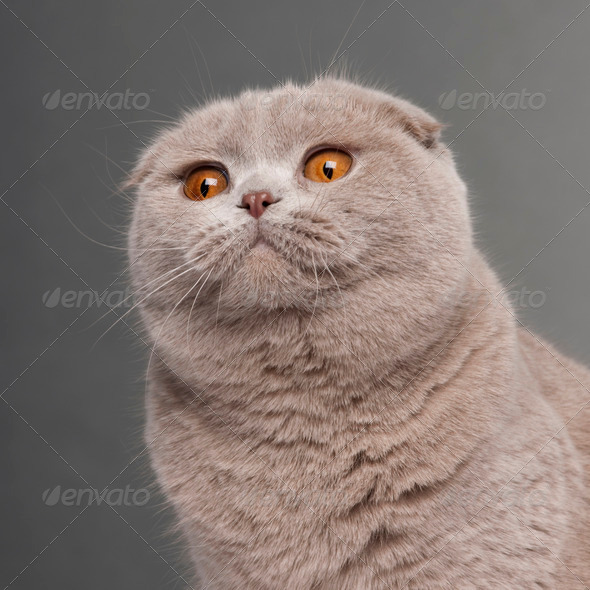 Scottish Fold (9,5 months old) - Stock Photo - Images