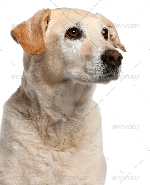 Close-up of Mixed-breed dog, 12 years old, in front of white background - Stock Photo - Images