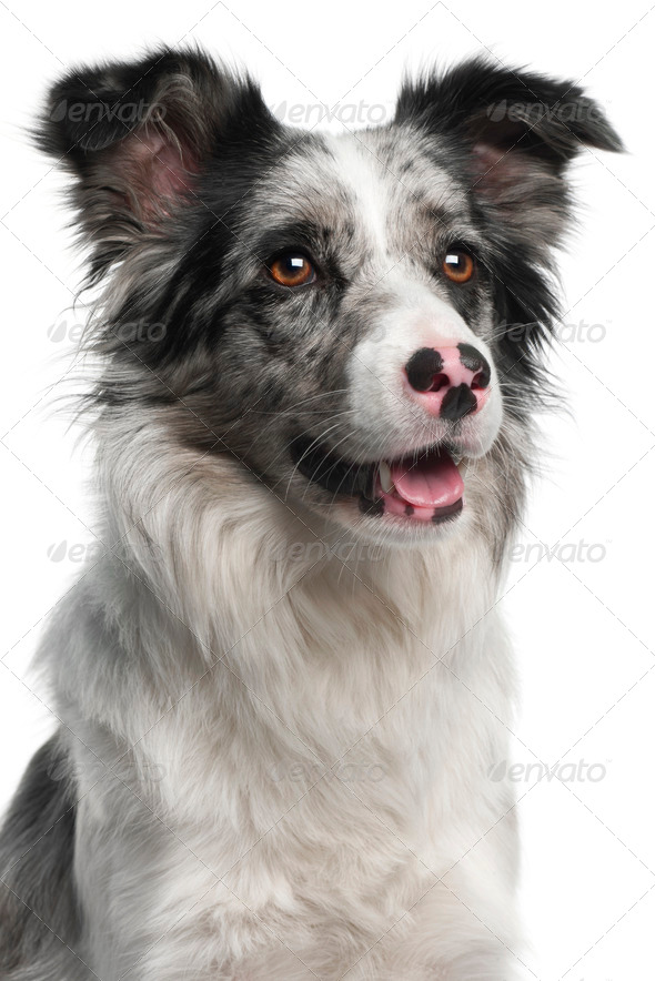 Close-up of Border Collie, 11 months old, in front of white background - Stock Photo - Images