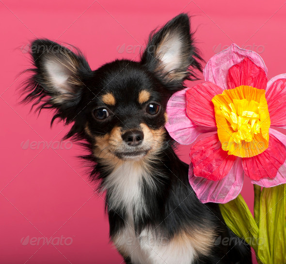 Close-up of Chihuahua puppy with flower, 6 months old, in front of pink background - Stock Photo - Images
