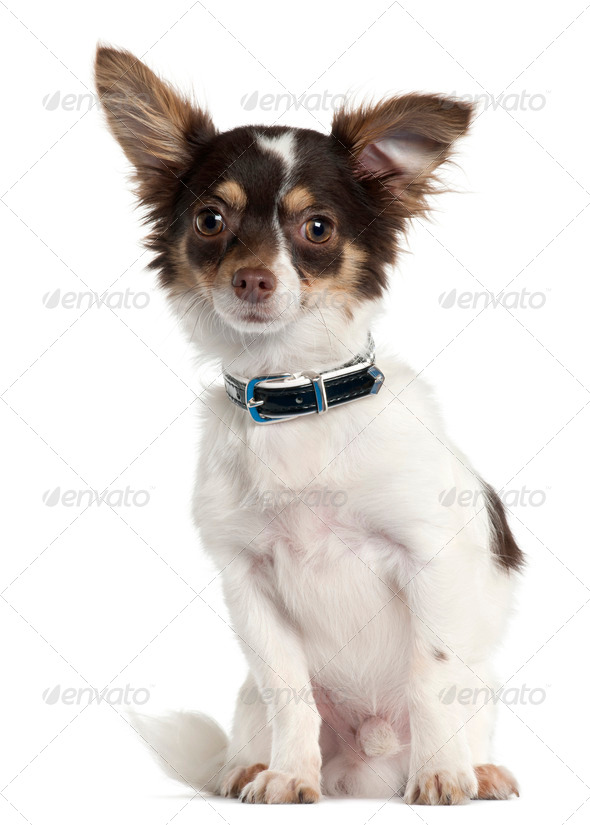 Chihuahua, 7 month old, sitting in front of white background - Stock Photo - Images
