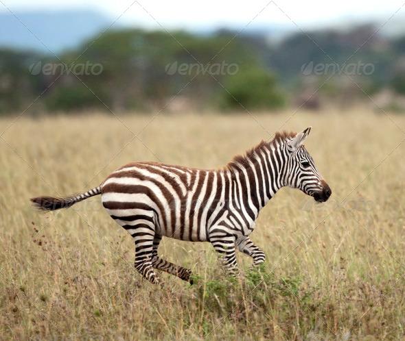 Zebra running in Serengeti National Park, Tanzania, Africa - Stock Photo - Images