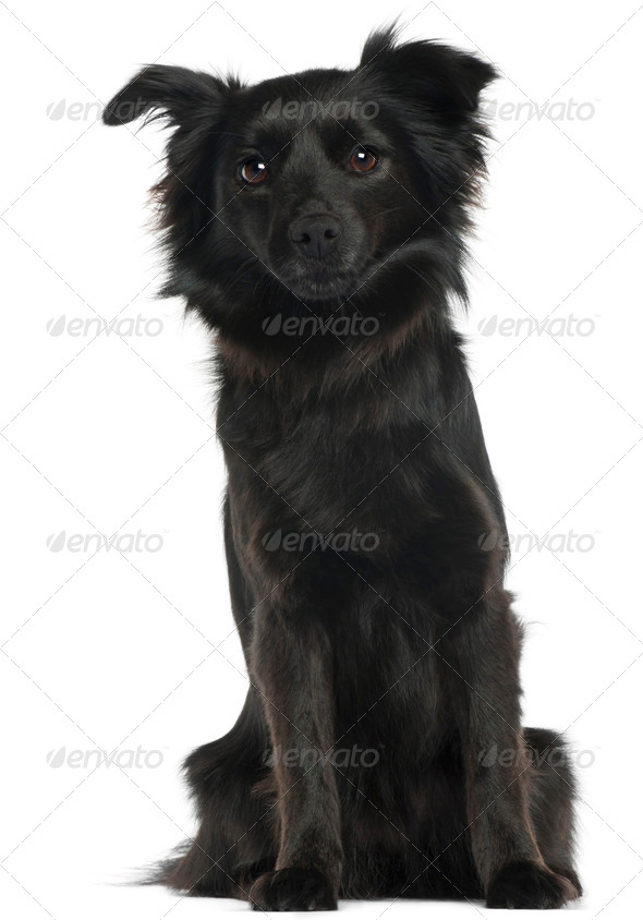 Schipperke, 3 years old, sitting in front of white background - Stock Photo - Images