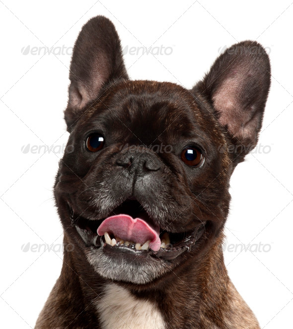Close-up of French Bulldog panting, 5 years old, in front of white background - Stock Photo - Images