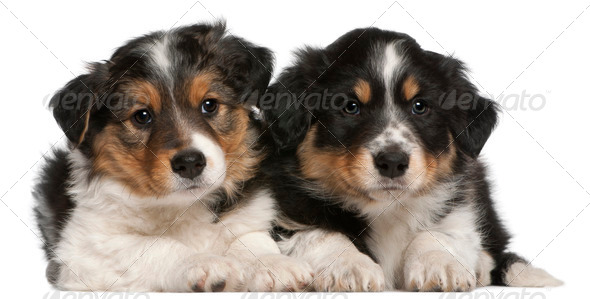 Border Collie puppies, 6 weeks old, lying in front of white background - Stock Photo - Images