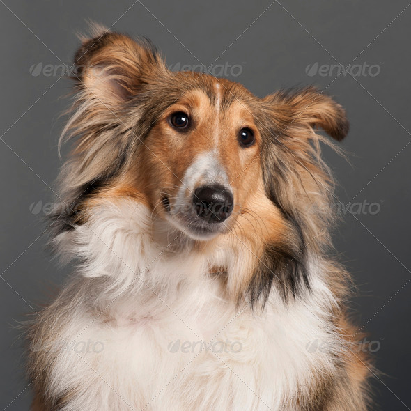 Collie - Stock Photo - Images