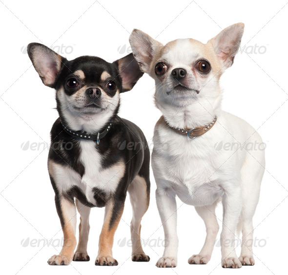 Two Chihuahuas in front of white background - Stock Photo - Images
